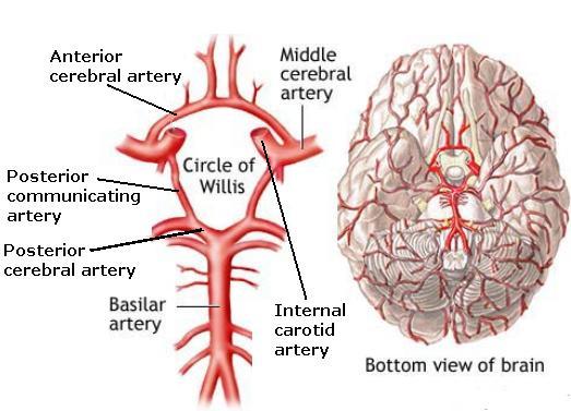 Blood flow through the brain pt 3 circle of willis neuroems circle of willis ccuart Choice Image